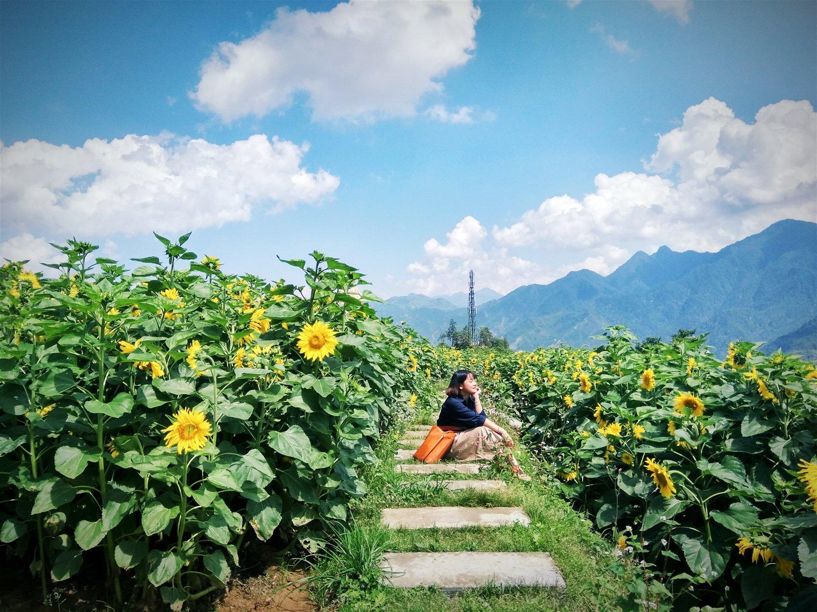 Hình nền đẹp ngồi giữa cánh đồng hoa hướng dương
