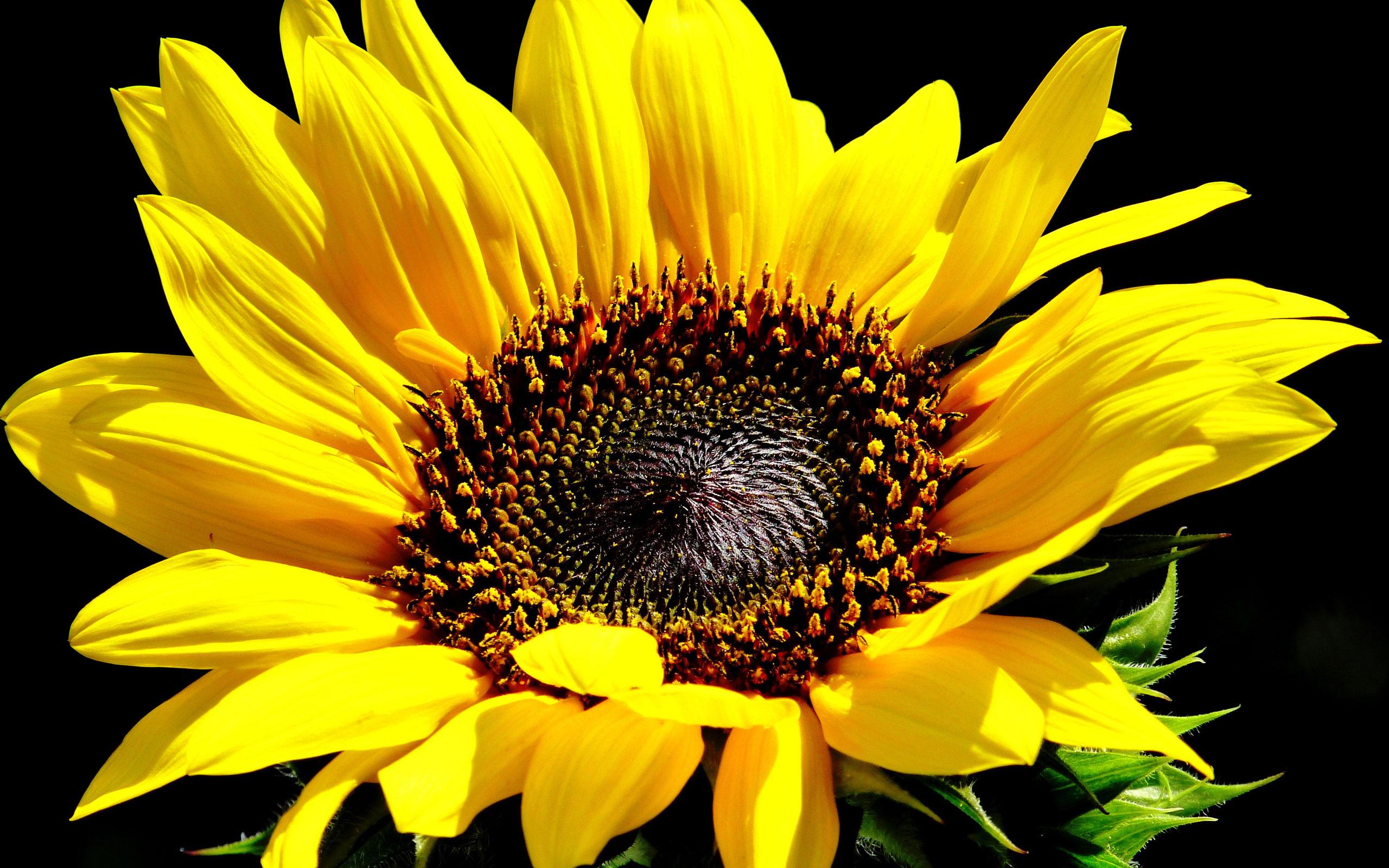 Hình nền điện thoại cực đẹp một đóa hoa hướng dương