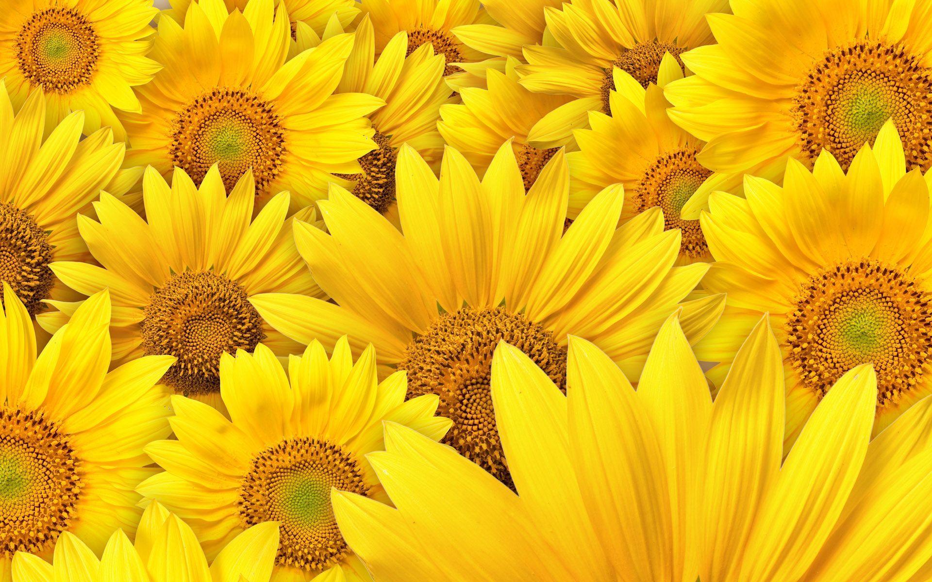 Hình nền hoa hướng dương cực đẹp
