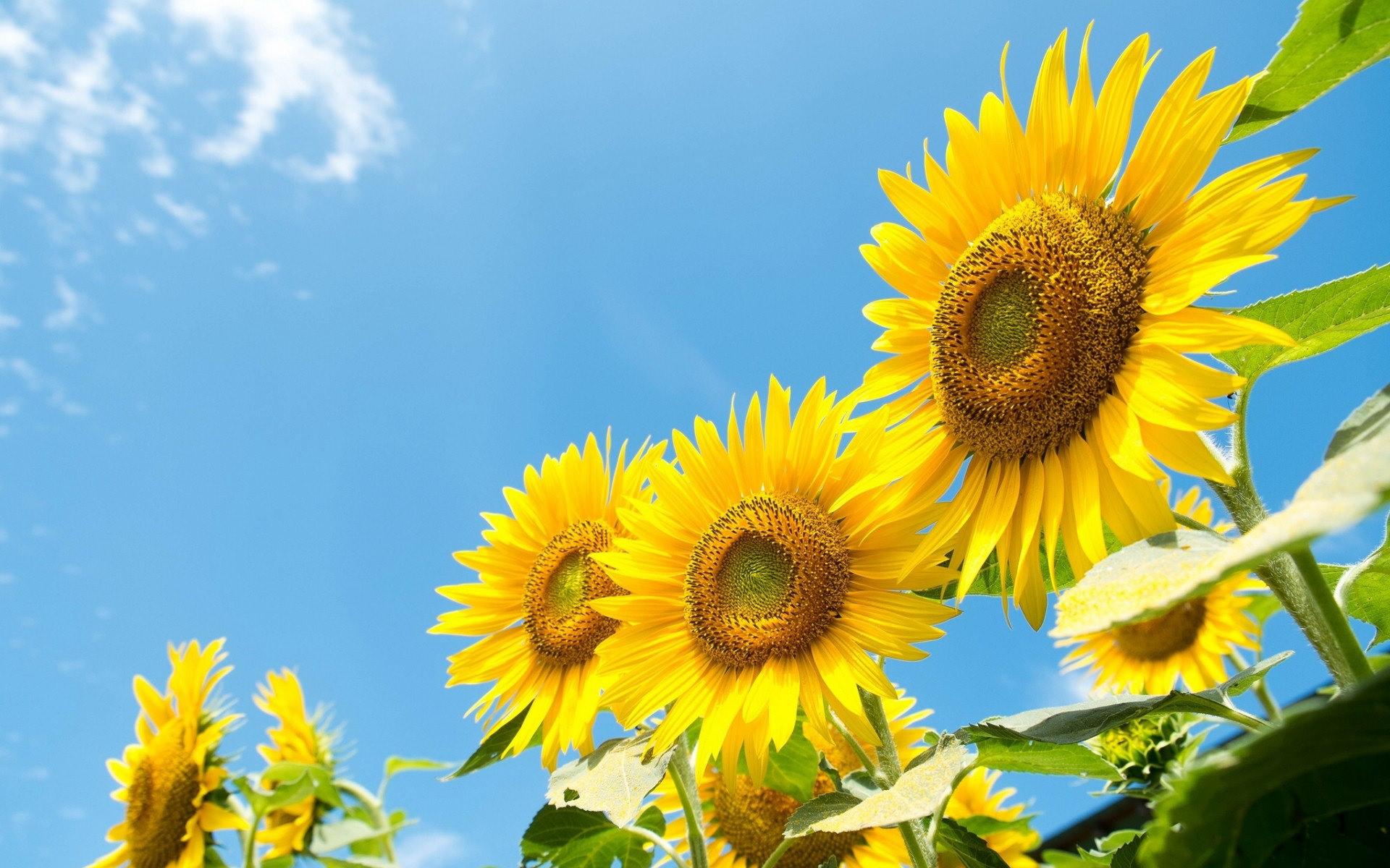 Hình nền hoa hướng dương khoe sắc rực rỡ