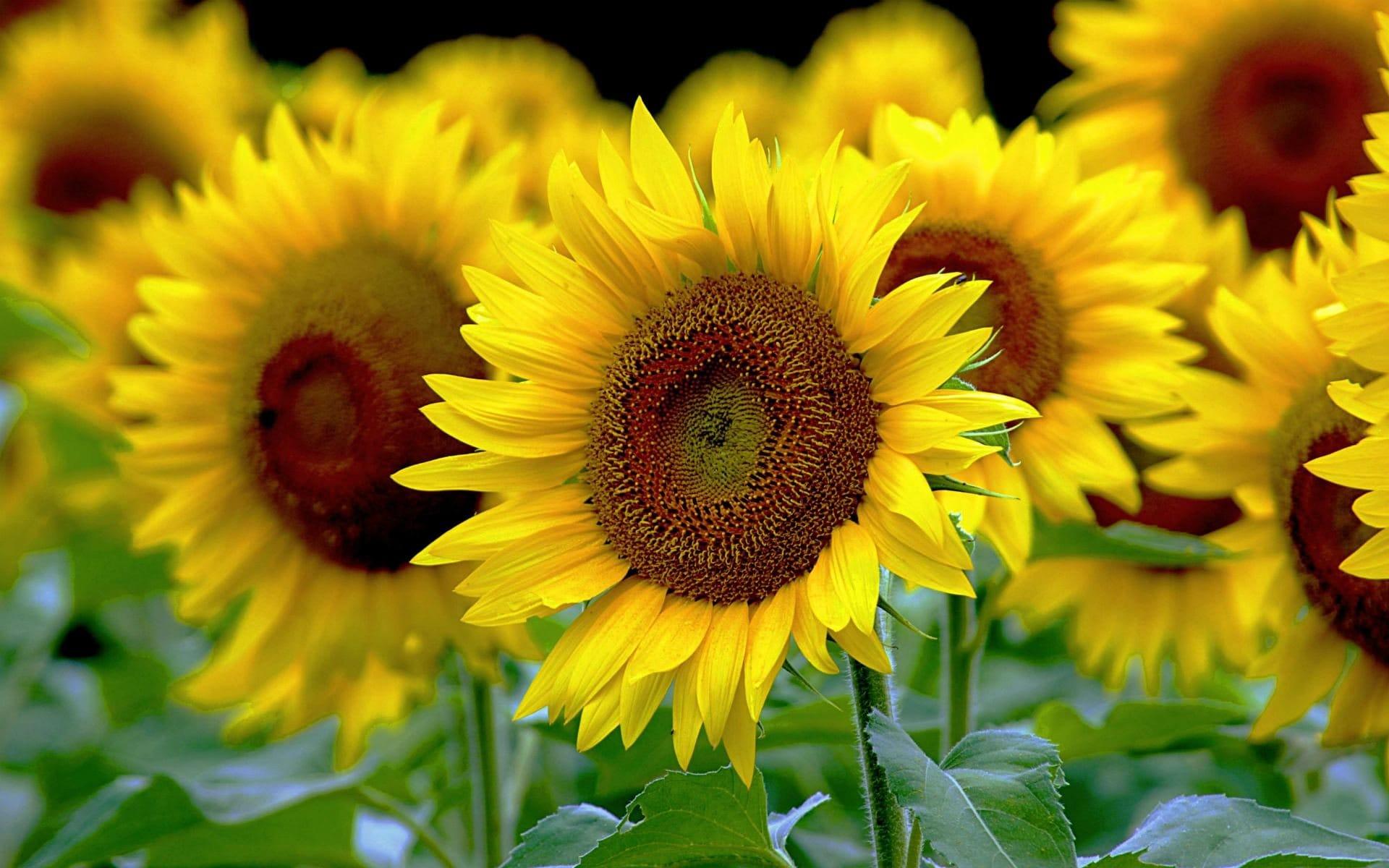Hình nền hoa hướng dương những gốc hoa nở rộ