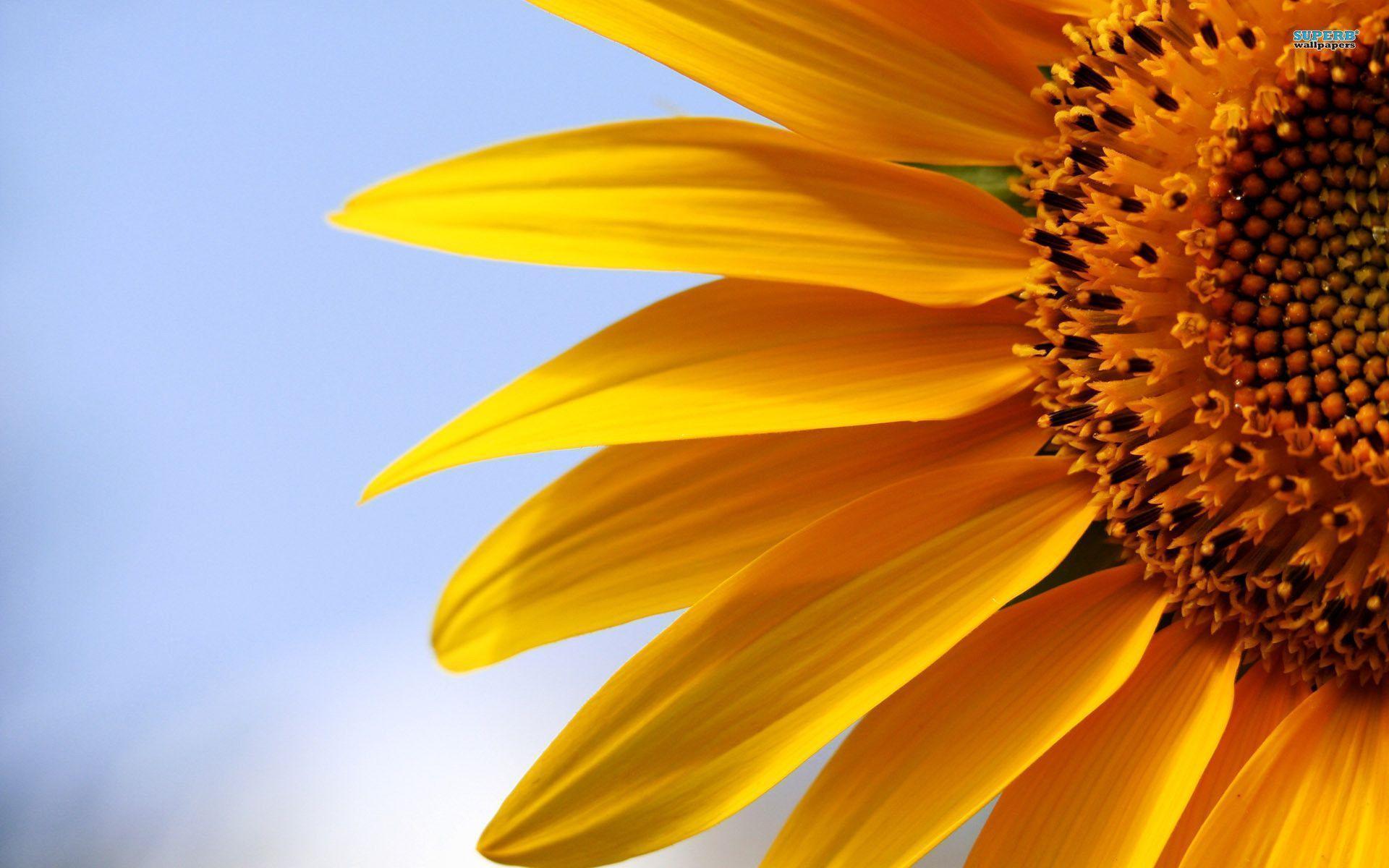 Hoa hướng dương đẹp làm hình nền