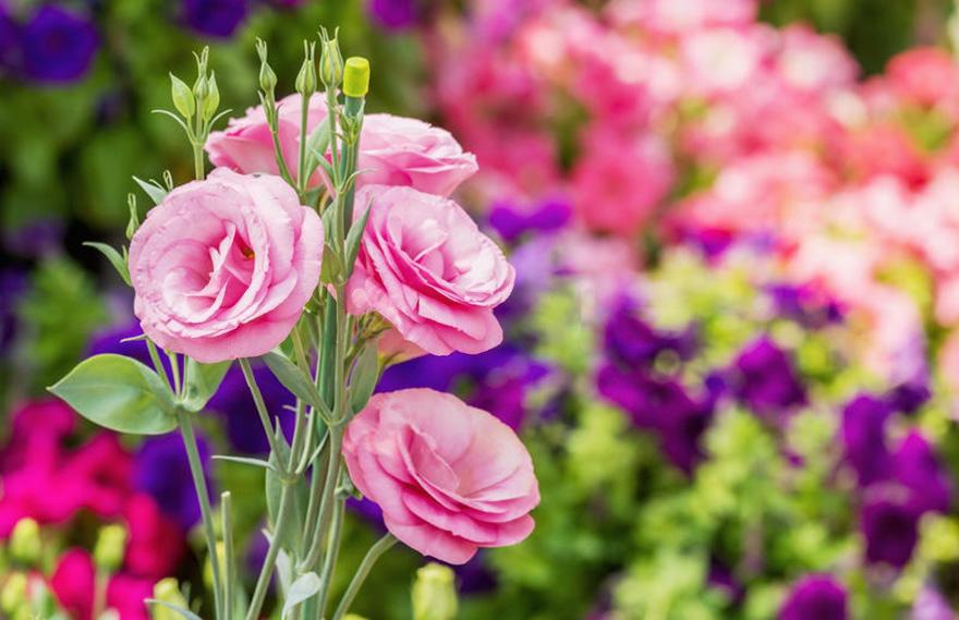 Ảnh hoa Cát Tường đầy đủ màu sắc đẹp nhất