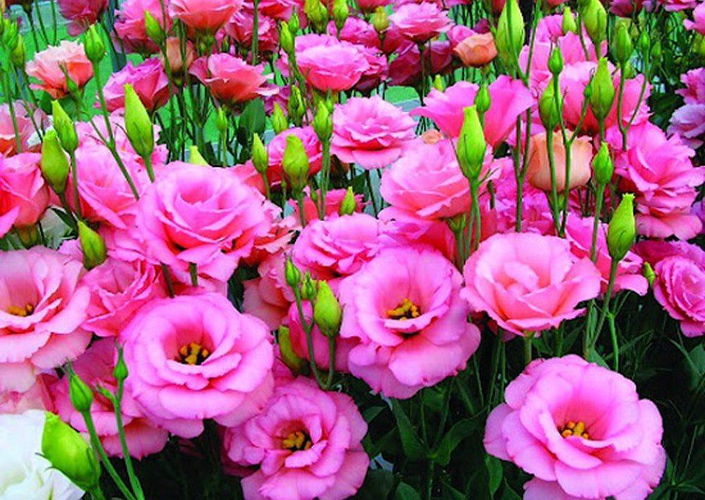 Ảnh hoa Cát Tường hồng đẹp