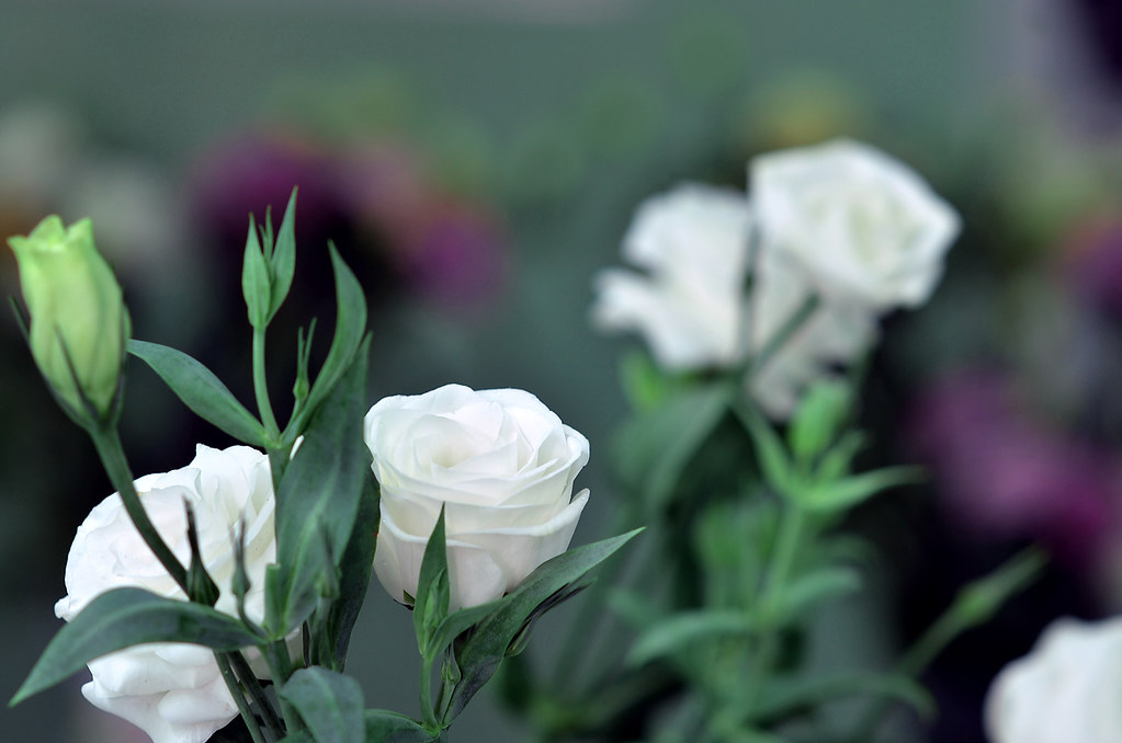 Ảnh hoa Cát Tường trắng đẹp