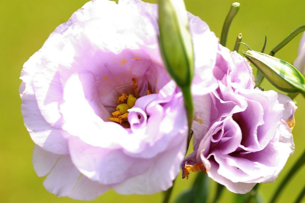 Hình ảnh hoa Cát Tường đẹp nhất