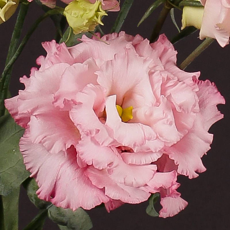 Hình ảnh hoa Cát Tường đẹp và rực rỡ nhất