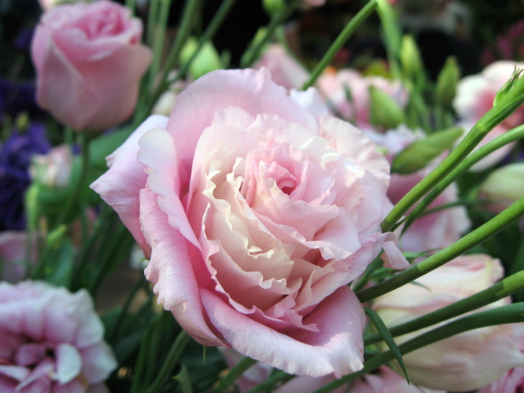 Hình ảnh hoa Cát tường hồng đẹp