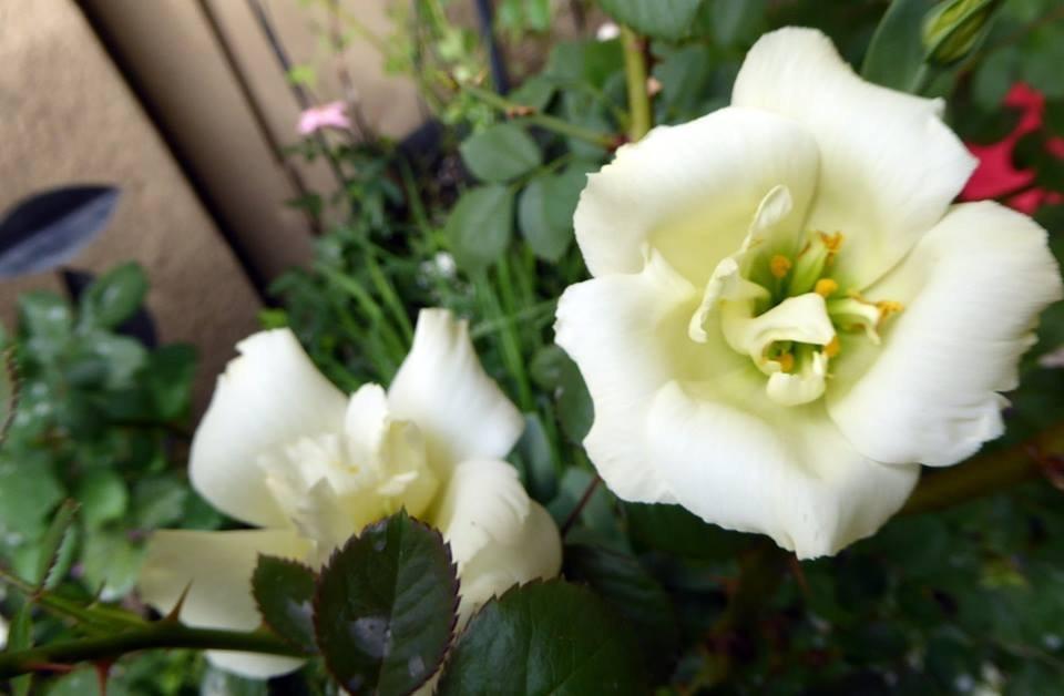Hình ảnh hoa Cát Tường vàng đẹp nhất