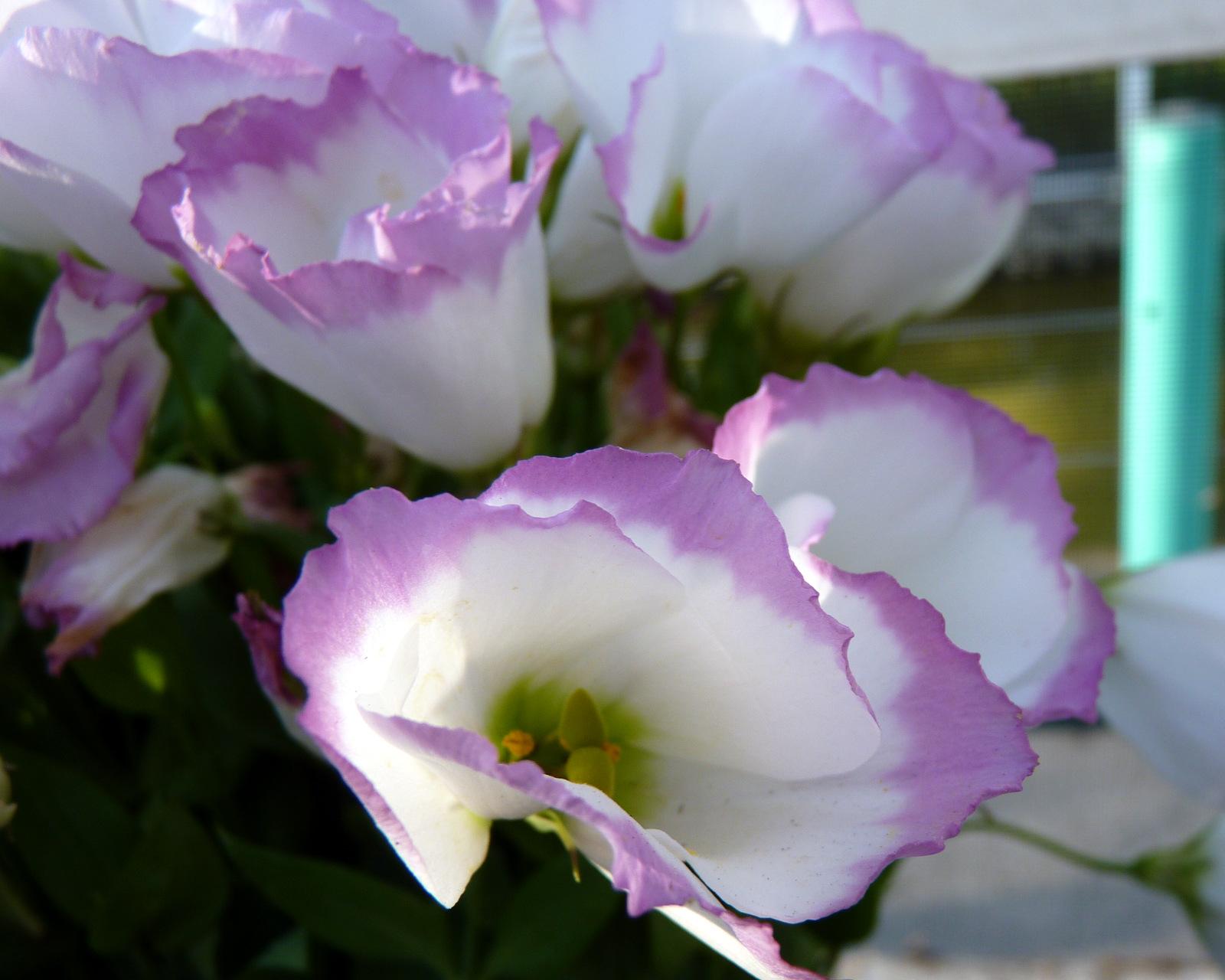 Hình ảnh hoa Cát Tường