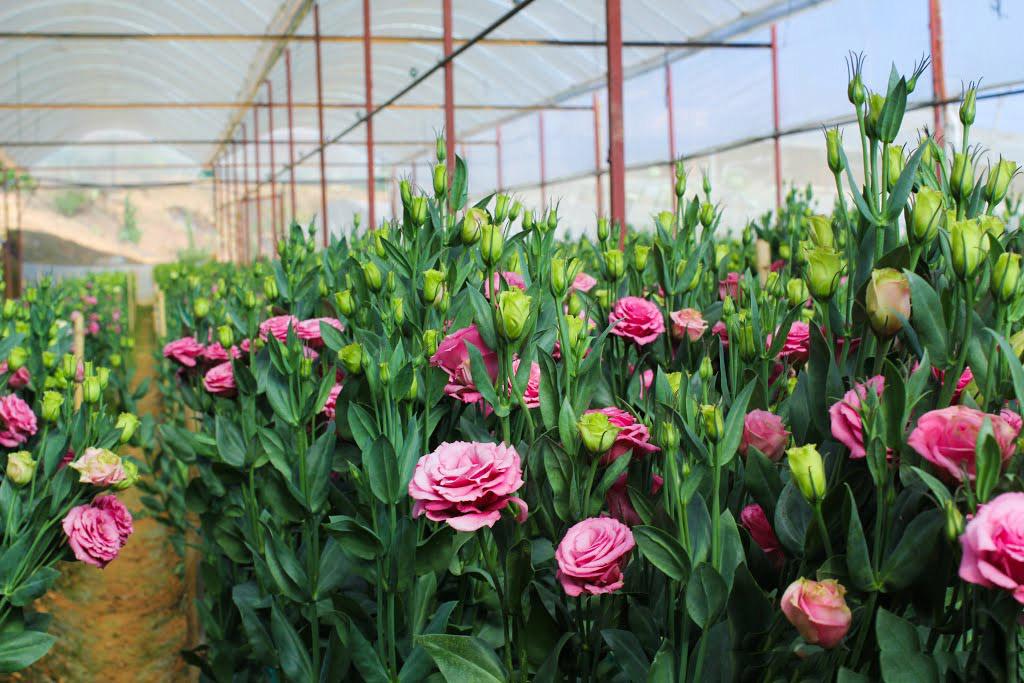 Hình ảnh vườn hoa Cát Tường trong nhà kính đẹp nhất