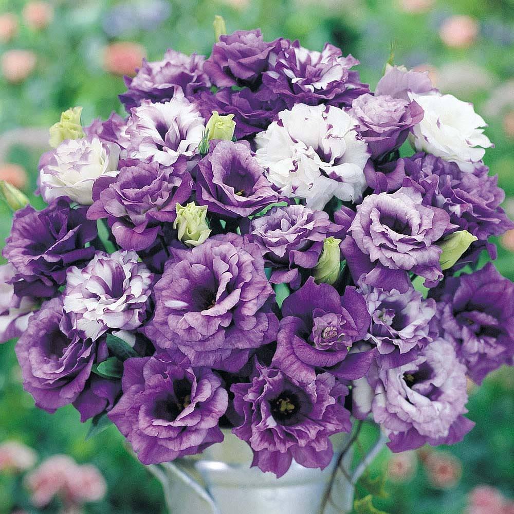Hoa Cát Tường hình ảnh đẹp nhất