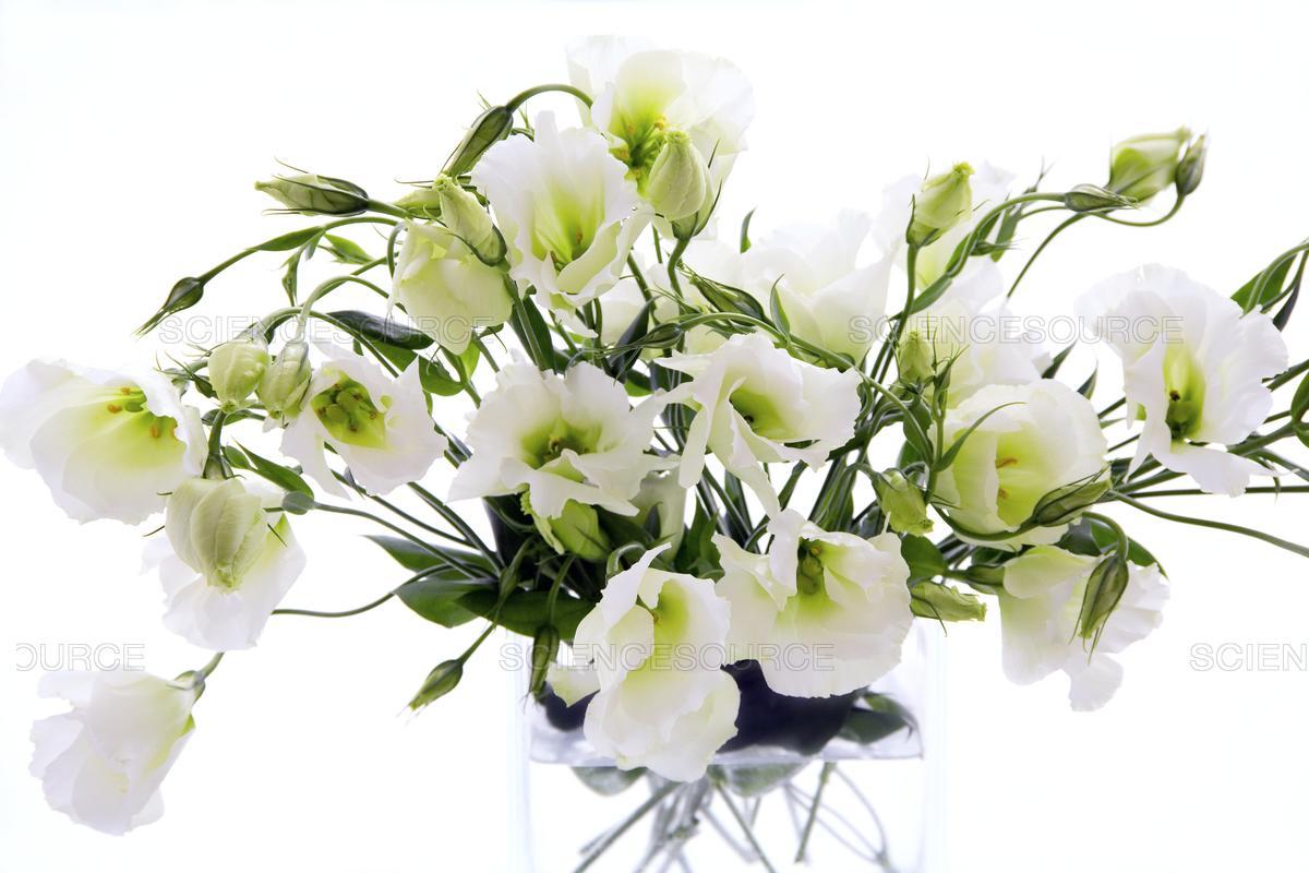 Hoa Cát Tường trắng hình ảnh đẹp nhất