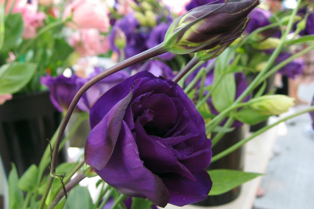 Những hình ảnh đẹp của hoa Cát Tường