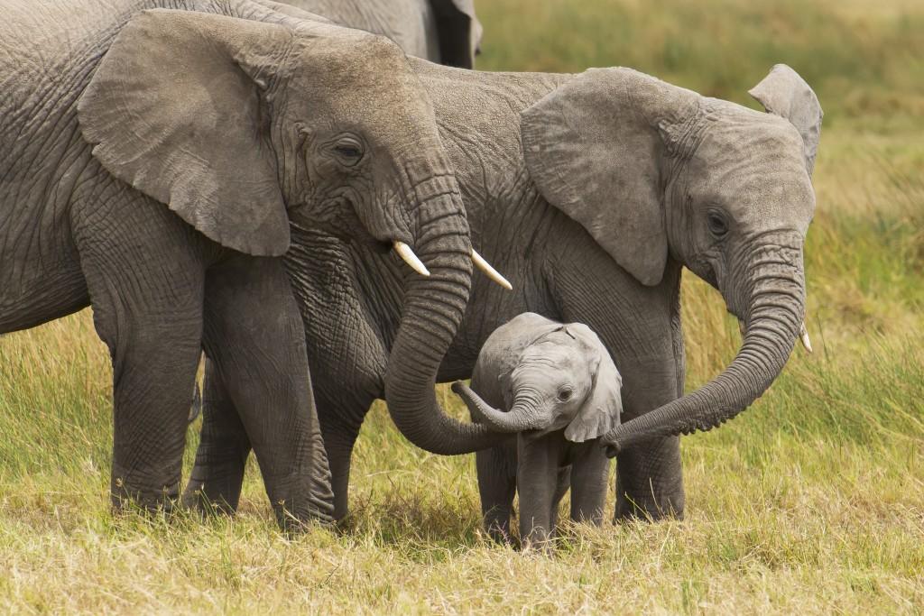 Ảnh đẹp đàn voi
