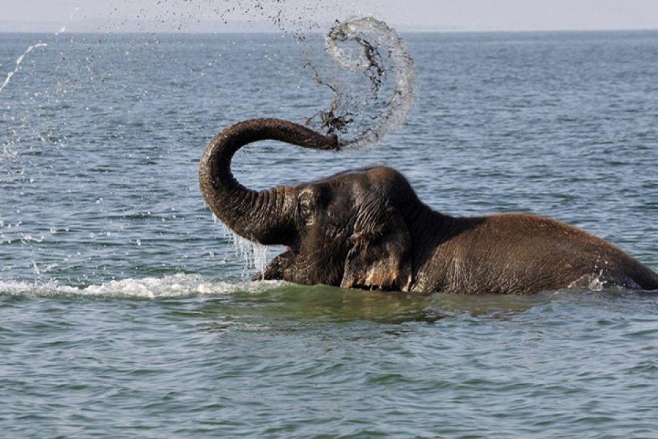 Hình ảnh con voi dưới nước