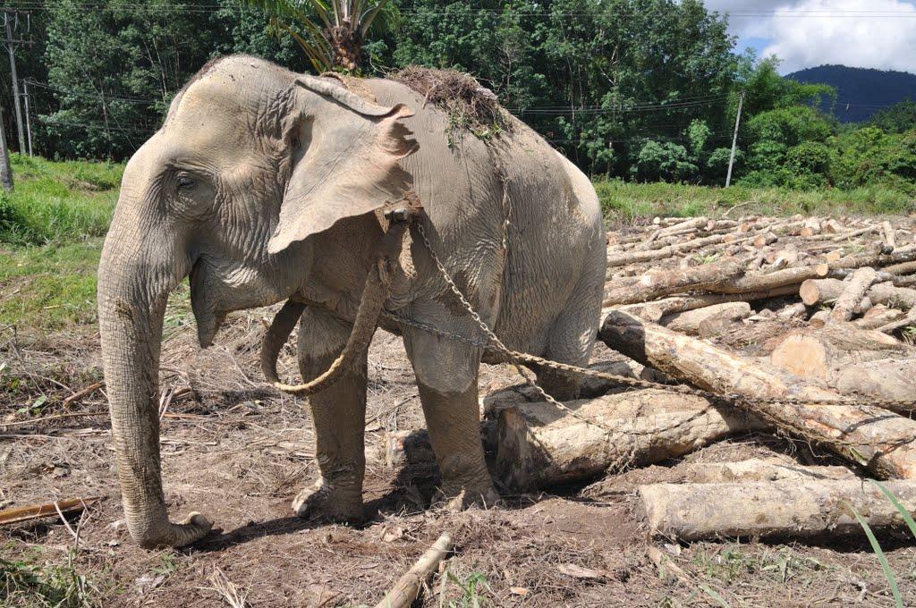 Hình ảnh con voi kéo gỗ