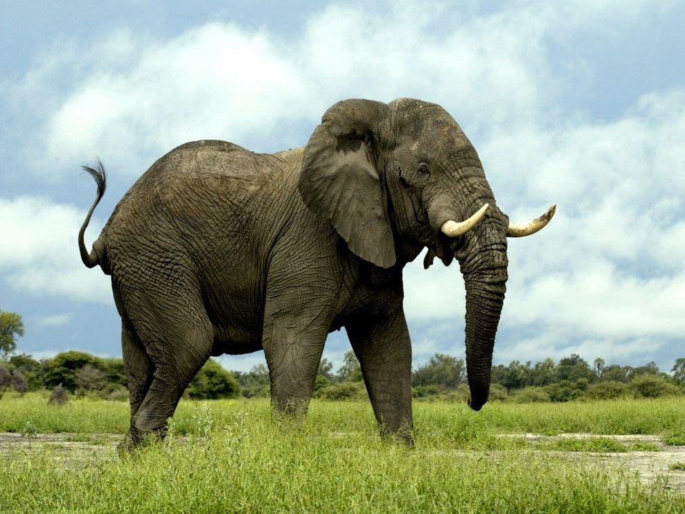 Hình ảnh con voi ngoài tự nhiên