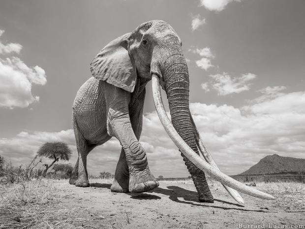 Hình ảnh con voi trưởng thành