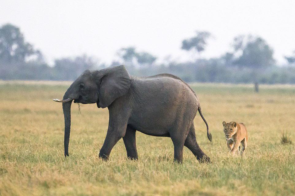 Hình ảnh con voi và sư tử