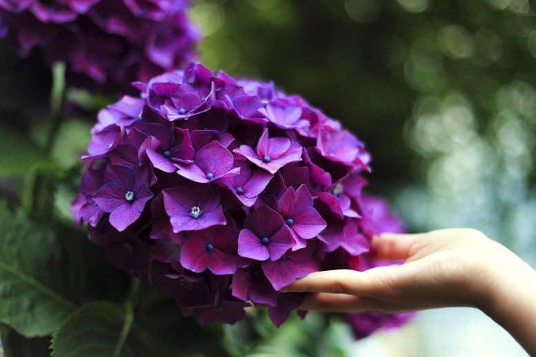 Hình ảnh hoa cẩm tú cầu màu tím đẹp