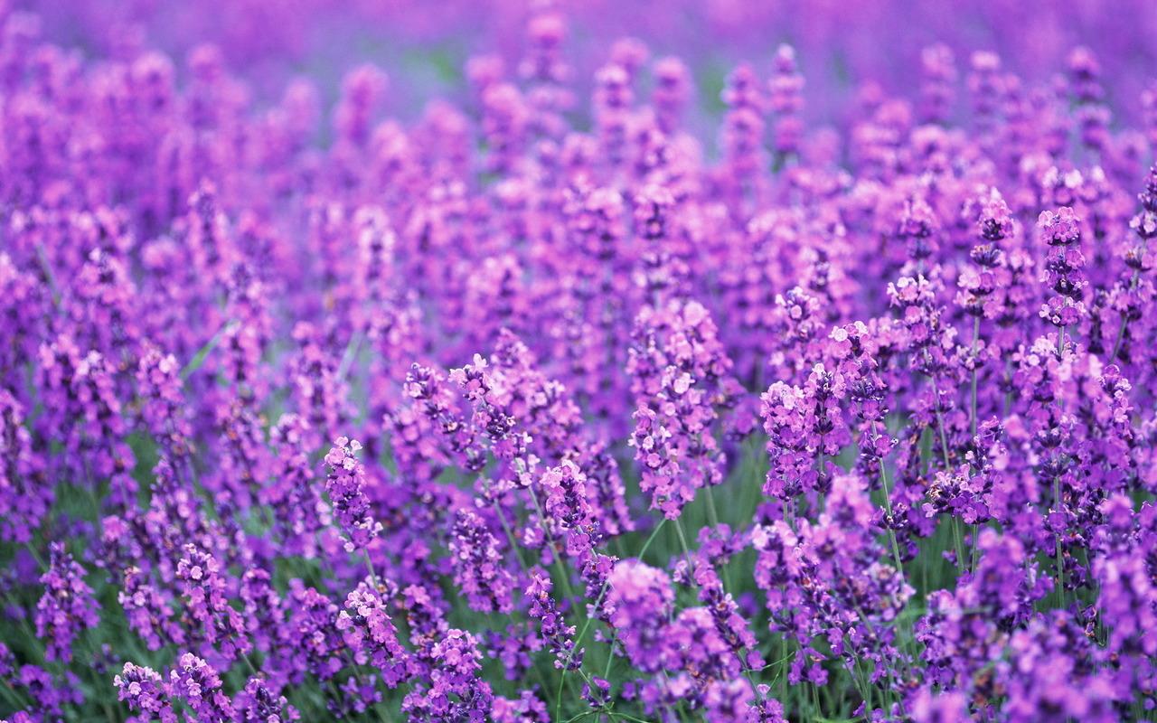 Hình ảnh vườn hoa oải hương màu tím đẹp nhất