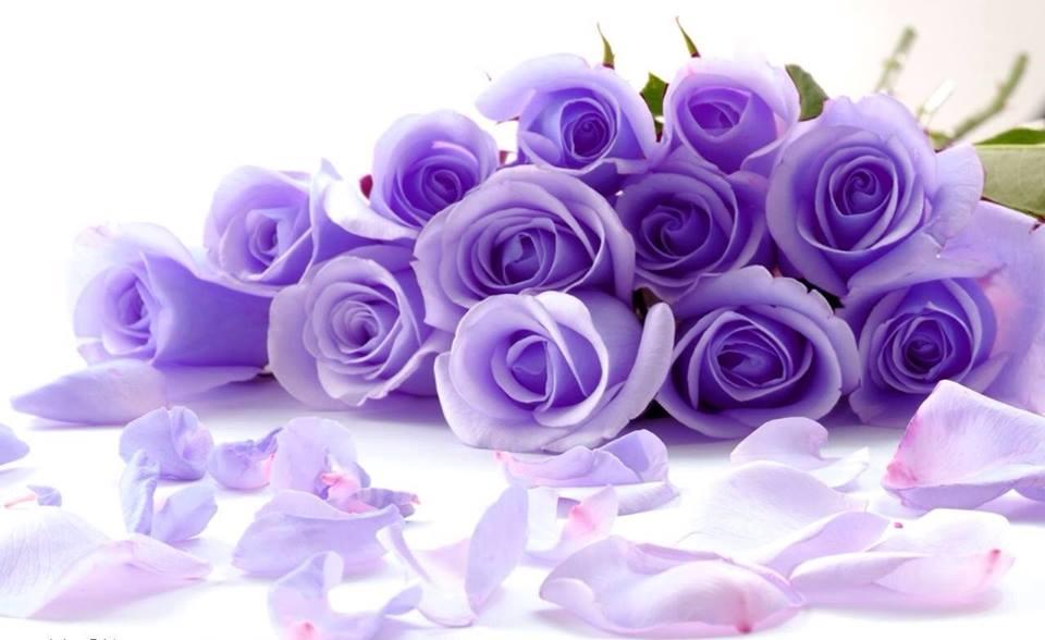 Hoa hồng tím hình ảnh đẹp nhất