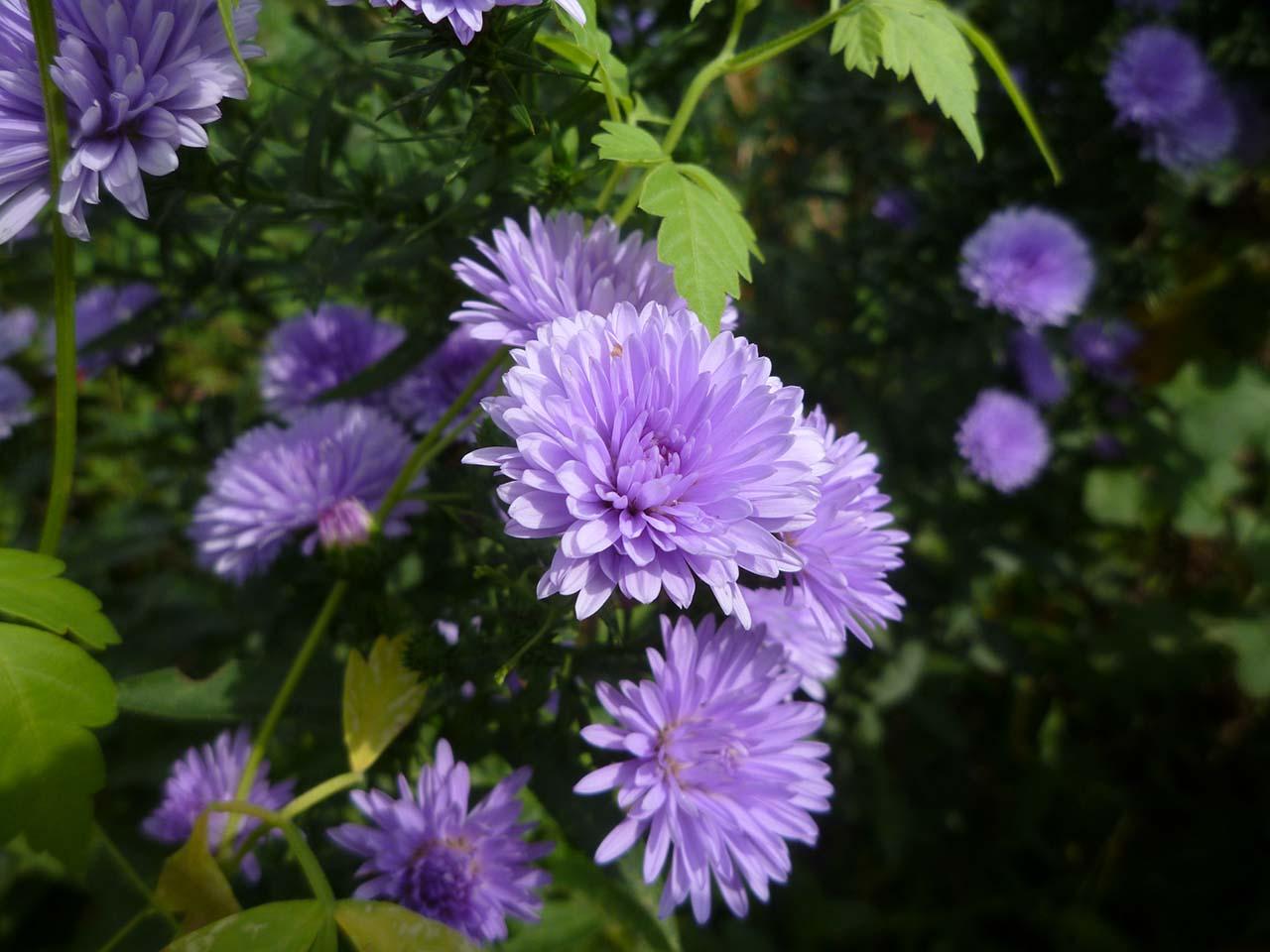 Hoa màu tím hình ảnh đẹp nhất trong tình yêu