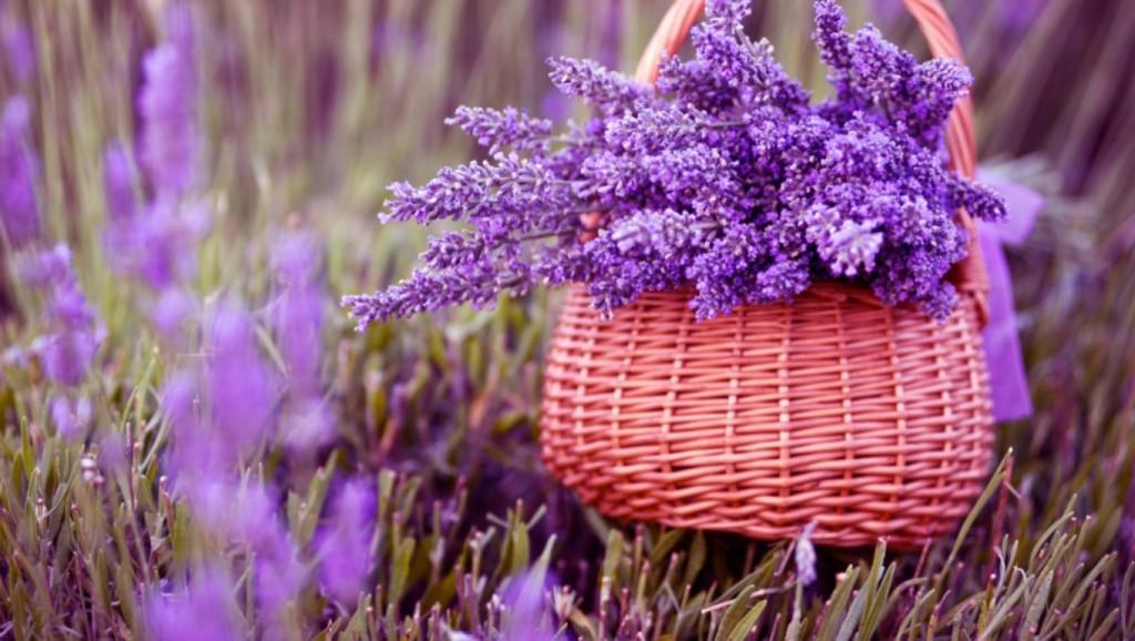 Hoa oải hương màu tím đẹp