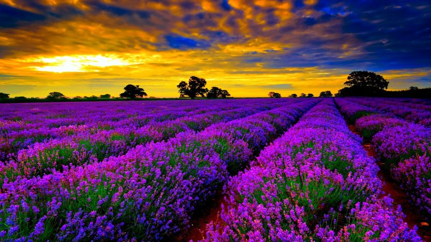Vườn hoa oải hương màu tím đẹp nhất