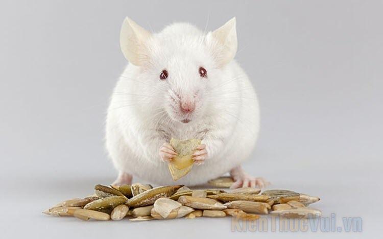 Chuột bạch ăn gì? Thức ăn nào tốt cho chuột bạch