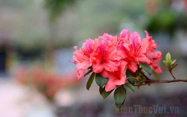 Hình ảnh hoa Đỗ Quyên đẹp