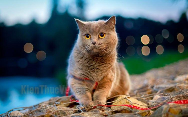 Hình ảnh mèo Anh lông ngắn đẹp