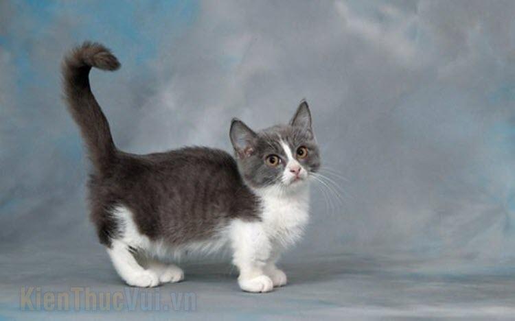 Hình ảnh mèo Munchkin đẹp