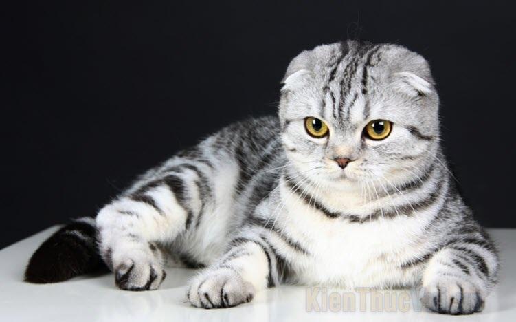 Hình ảnh mèo Tai Cụp đẹp