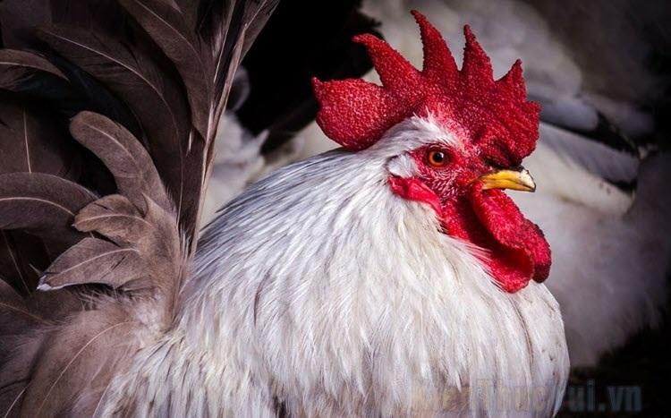 Hình ảnh con gà đẹp