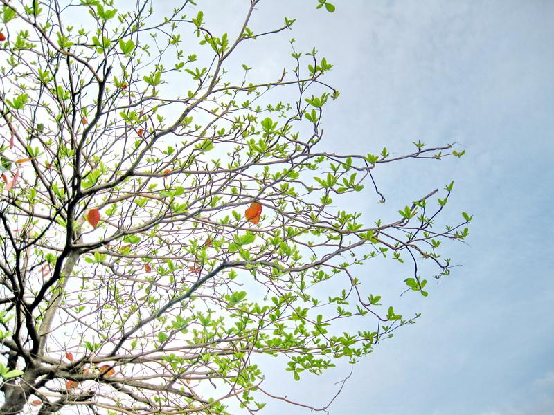 Ảnh cây bàng vào mùa xuân