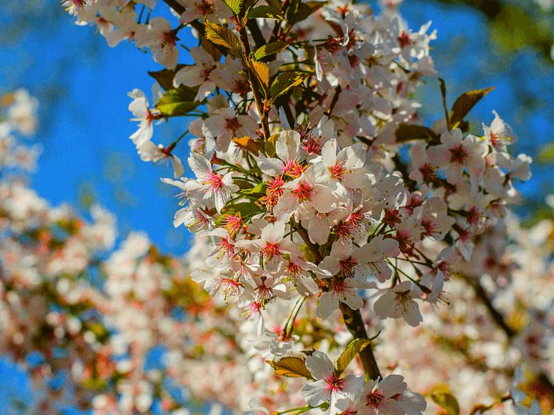 Ảnh hoa anh đào mùa xuân