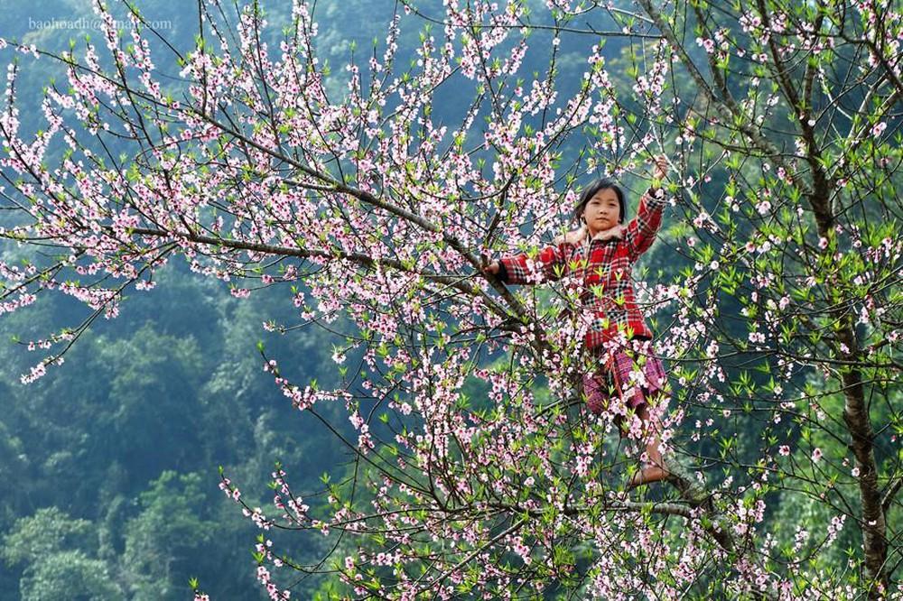Ảnh hoa đào rừng nở rộ
