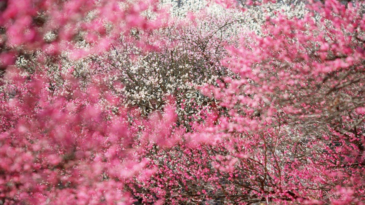 Ảnh hoa mùa xuân rực rỡ, lãng mạn nhất