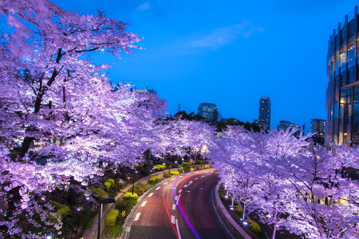 Ảnh tuyệt đẹp về mùa xuân Nhật Bản