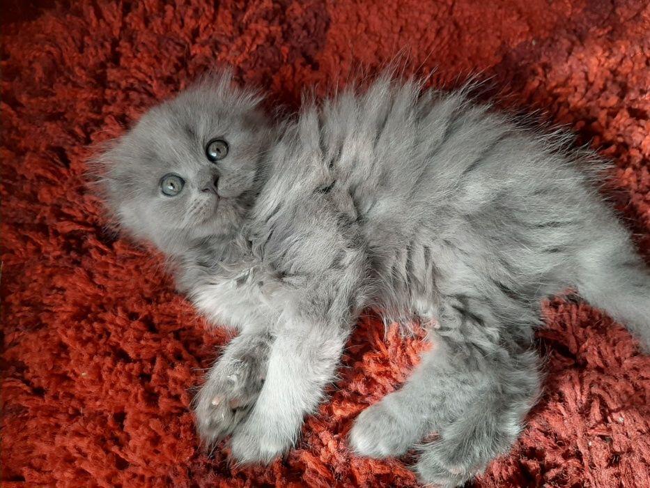 Ảnh bé mèo ald lông xám cực dễ thương
