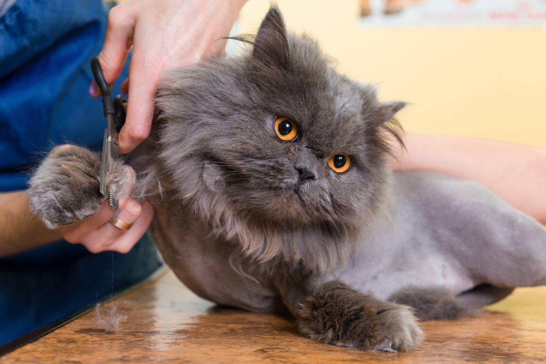 Ảnh cắt móng cho mèo Ba Tư