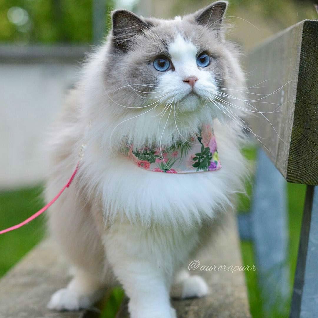Ảnh công chúa mèo Aurora Purr giống mèo anh lông ngắn