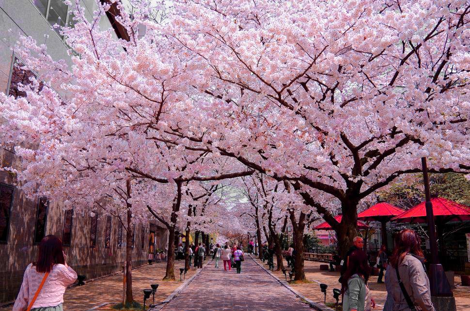 Ảnh công viên Ueno Nhật Bản mùa hoa anh đào