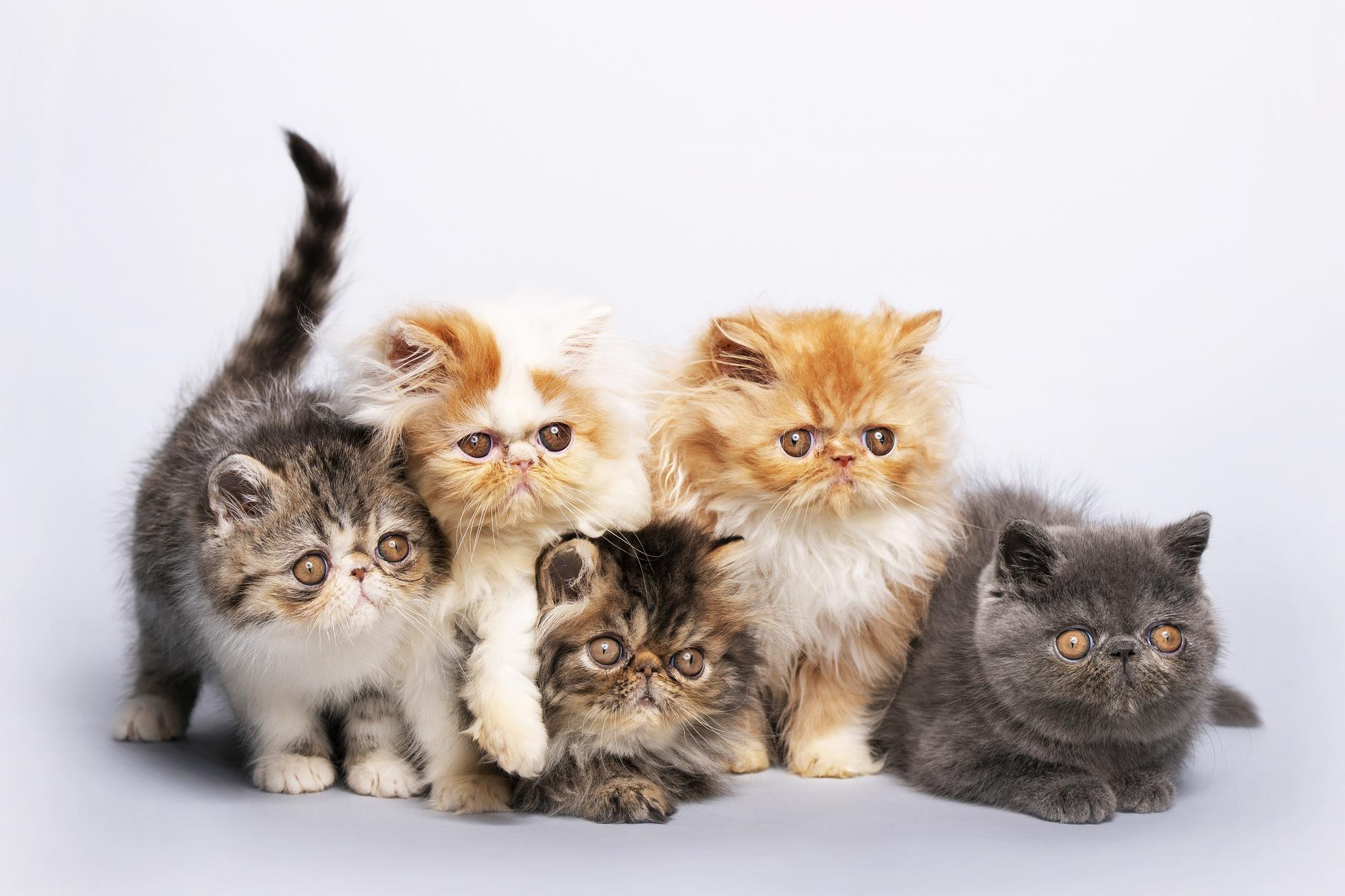 Ảnh đàn mèo Ba Tư nhiều màu đẹp