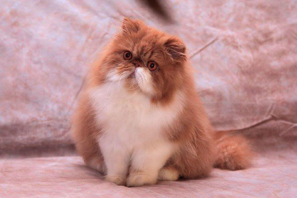Ảnh dễ thương về mèo Ba Tư