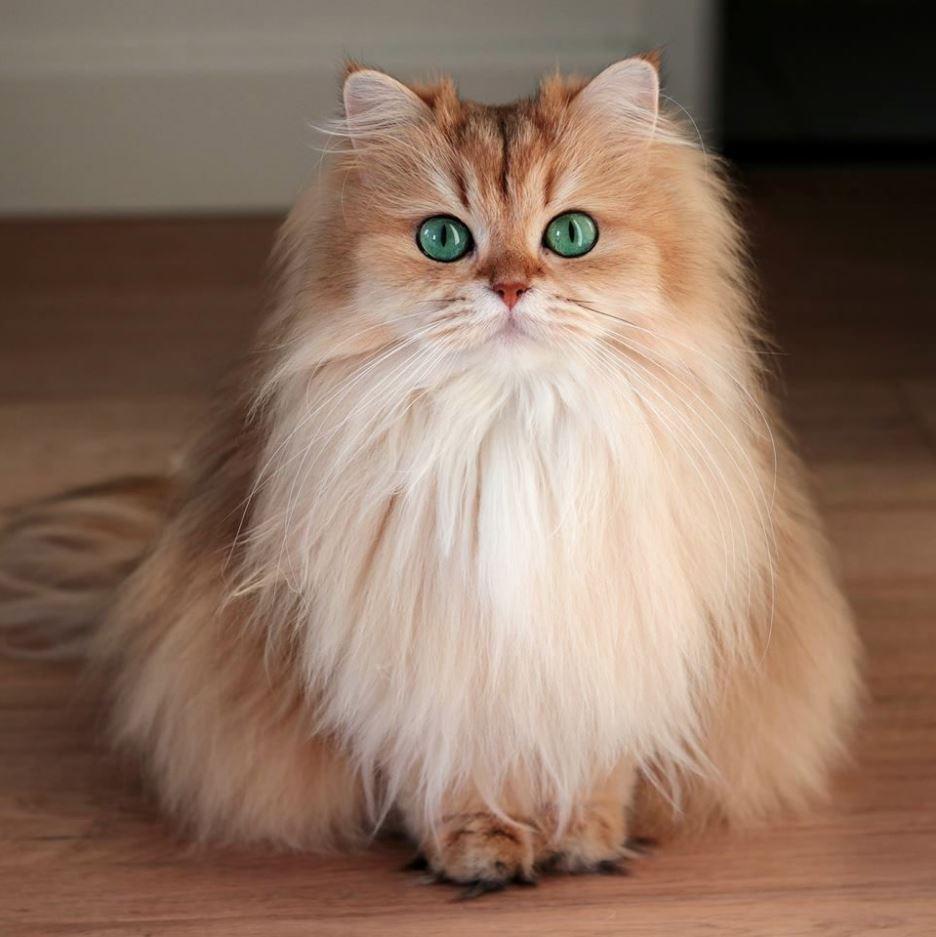 Ảnh đẹp mèo anh lông dài