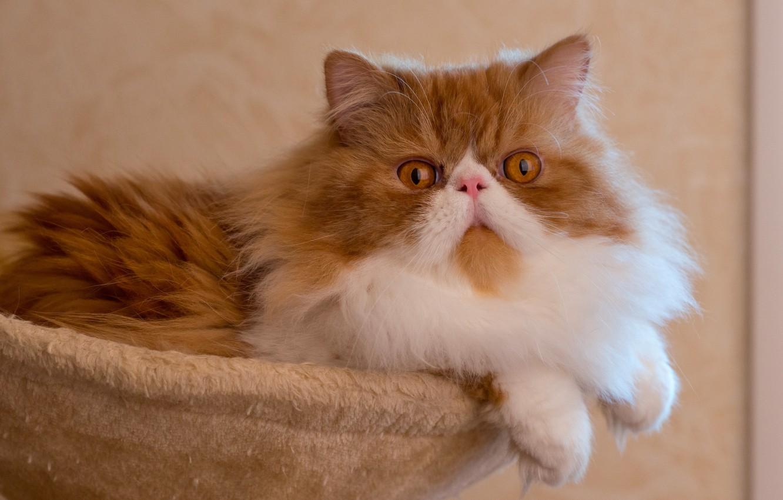Ảnh đẹp mèo ba tư vàng
