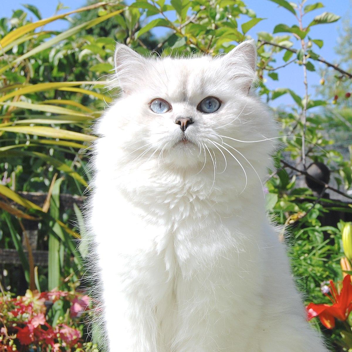 Ảnh đẹp về mèo anh lông dài